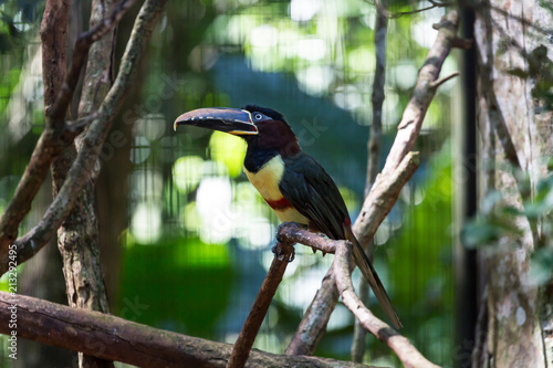 Deurstickers Toekan Toucan bird on a branch