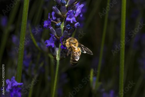 bourdon/boudon sur une fleur de lavande фототапет