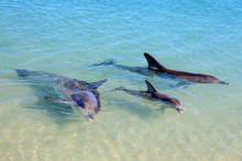 Dolphins In Monkey Mia, Wester...