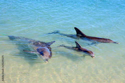 Photo  Dolphins in Monkey Mia, Western Australia