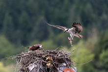 Osprey Feeding Chick In Nest