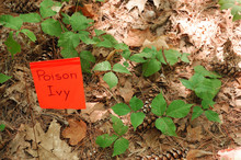 Poison Ivy On The Ground With ...