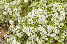 Sweet Alyssum Or Sweet Alison Or Sweet Alice (Lobularia Maritima ,Alyssum Maritimum) Is A Delicate Carpet Of Pure White Tiny Flowers With A Subtle, Sweet Scent In Snow Cloth Or Carpet Of Snow Cultivar