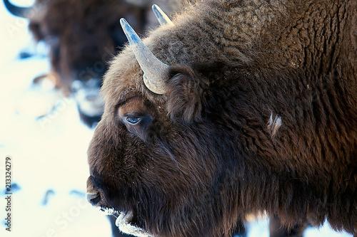 Fototapety, obrazy: Aurochs bison in nature / winter season, bison in a snowy field, a large bull bufalo