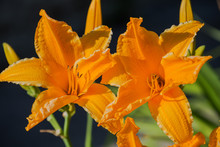Orange-yellow Daylily Hemeroca...