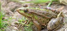 The Marsh Frog (Pelophylax Rid...
