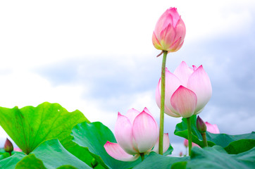 Fototapeta Do Spa Pink lotus flower. The background is the lotus leaf and white lotus flower and lotus bud in a pond. Beautiful sunlight and sunshine in the morning