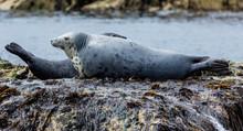 Grey Seals, Resting On Rocks A...