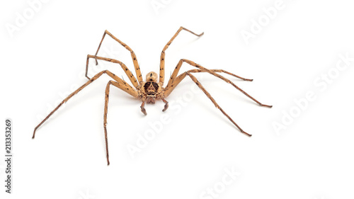 Close up of a banana spider on a white background.