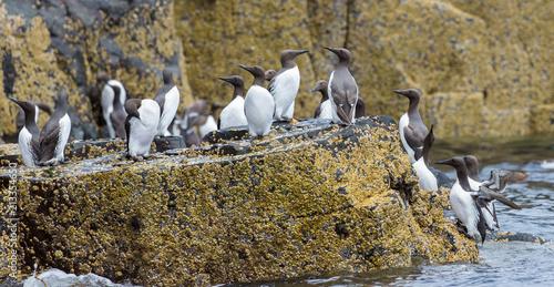 Guillemots, sea birds, on rocks at the Farne Islands, Northumberland, England. UK.