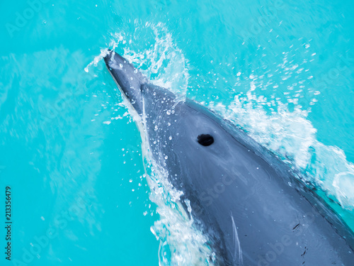 Dolphins swimming in an ocean Poster