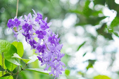 Fotografie, Tablou  Sandpaper vine with blurred background.