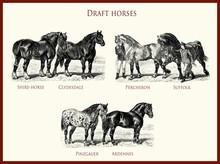 Vintage Equestrian Illustration, Powerful Draft Horse Portraits:  Shire-horse, Clydesdale, Percheron, Suffolk, Pinzgauer, Ardennes