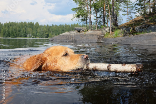 Tablou Canvas Dog (Golden Retriever) swimming and fetching a stick.