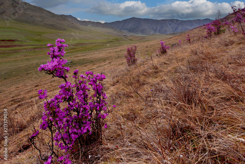 Fotobehang Cappuccino Russia. Mountain Altai. Chuyskiy tract in the period of the flowering of Maralnik (Rhododendron).