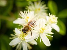 A Bee Feeding On Honeysuckle Flowers