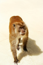 Crab-eating Macaque For Food A...