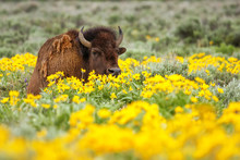Male Bison Lying In The Field With Flowers, Yellowstone National Park, Wyoming