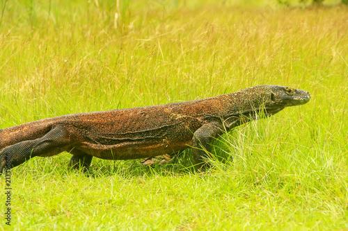 Komodo dragon walking on Rinca Island in Komodo National