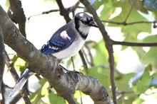 Blue Jay In Oak Tree