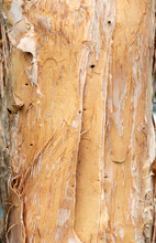 Paperbark Tree (Melaleuca Quinquenervia) Trunk Bark Closeup Showing Peeling Papery Texture - Wolf Lake Park, Davie, Florida, USA