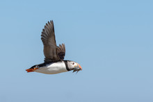 Puffin Flying By With A Mouthf...