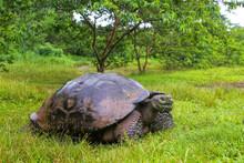 Galapagos Giant Tortoise On Sa...