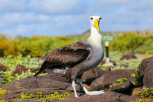 Waved Albatross On Espanola Is...