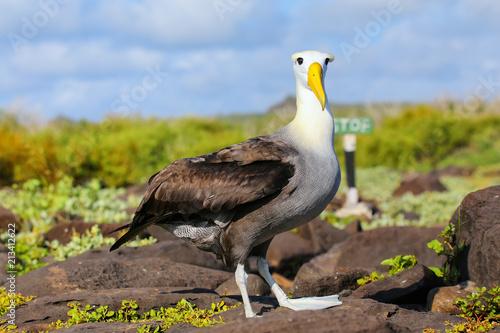 Fototapeta Waved albatross on Espanola Island, Galapagos National park, Ecuador