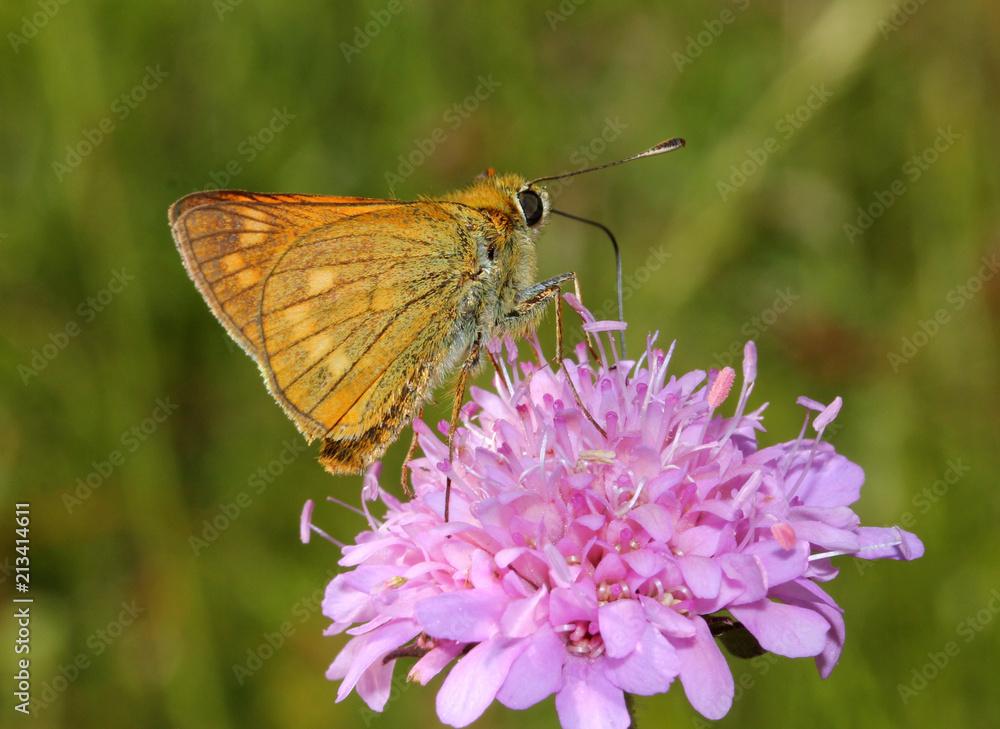 farfallina (Ochlodes silvanus) su un fiore di Knautia