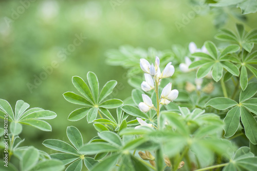 Lupinus white flower blooming in a meadow.