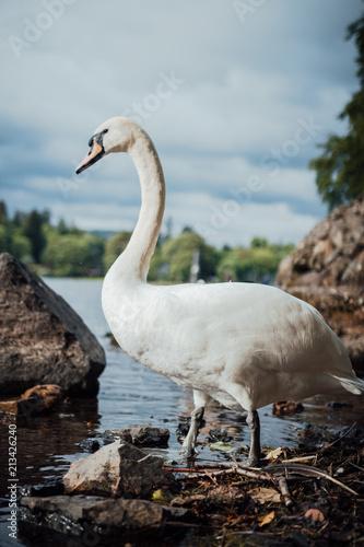 Deurstickers Zwaan Swan in the lake