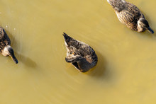 Ducks Swim In Dirty Water. View From Above.