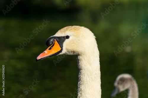 Foto op Aluminium Zwaan Head of the mute swan (Cygnus olor), close-up.