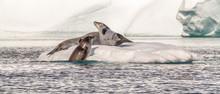 Weddell Seals At Play
