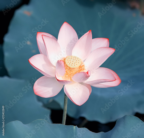 Photo Stands Lotus flower Blooming lotus or waterlilly flower in the pond