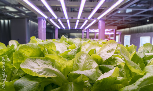 Fotografia  Organic hydroponic Brassica chinensis vegetable grow with LED Light Indoor farm,