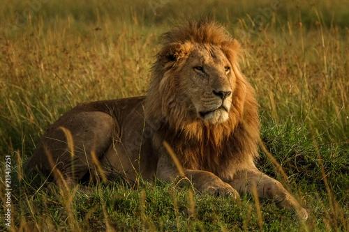 Zdjęcie XXL Lwy w trawach afrykańskiej sawanny