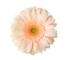 Gerbera  Flower Of  Apricot Co...