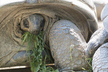 Big African Tortoise Eating Grass