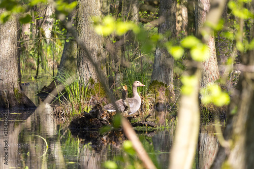 A greylag goose sits on a log in a swamp