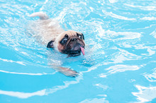 Happy Cute Pug Dog Swimming Wi...