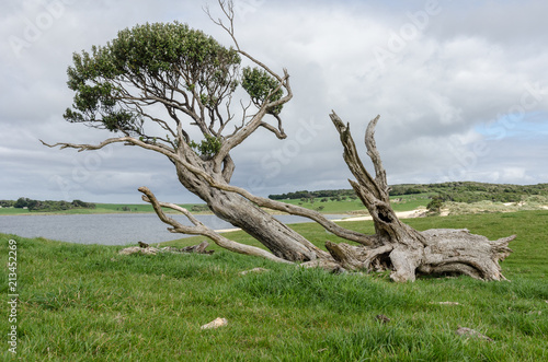 Gnarled, windswept, and fallen tree hanging on to life on the Chatham Islands, New Zealand Fototapet