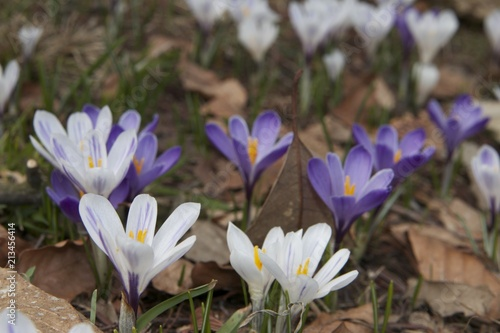 Foto op Canvas Krokussen crocus close up