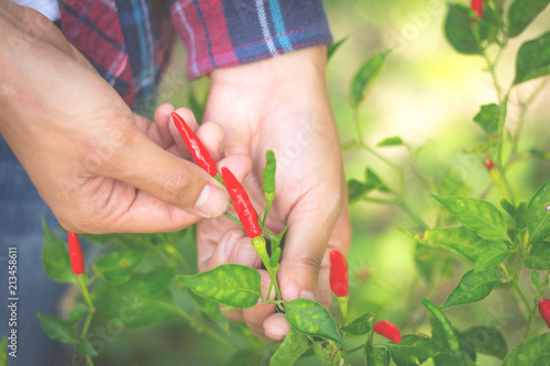 Canvas Print Young farmers are collecting chili in the farm area,Agribusiness and innovation concept