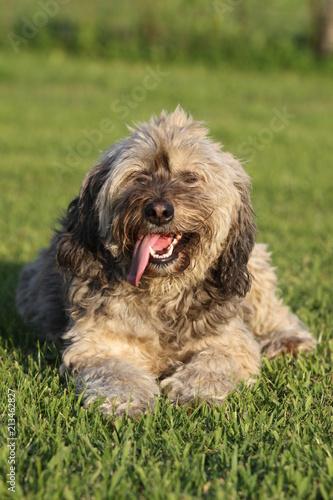 Foto  Bel cane peloso sul prato con la lingua di fuori