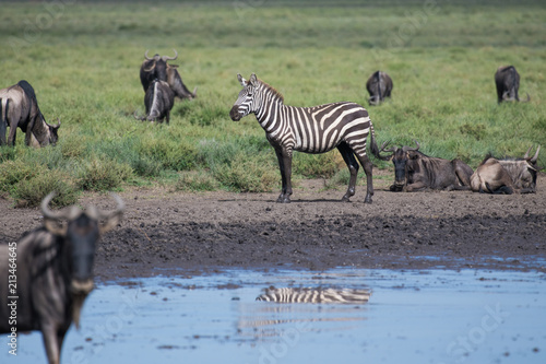 Foto op canvas zebra foto op canvas zebra zebra with dirty legs after walking in the pond staying among gnu altavistaventures Image collections