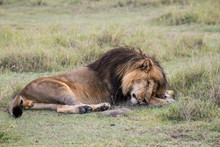 Male Lion Sleeping On The Grass In Serengeti National Park Of Tanzania
