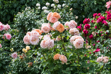 Fototapeta Ogrody Beautiful multi-colored rose garden in summer.