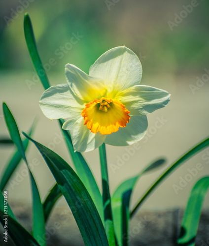 Papiers peints Narcisse Narcissus